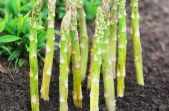 Спаржа выращивание и уход на дачном участке