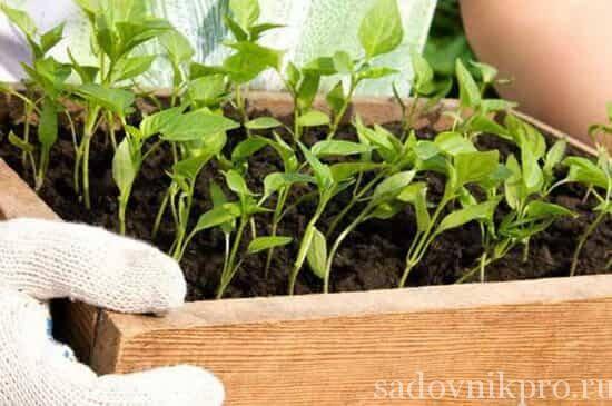 Когда сажать перец на рассаду в открытый грунт