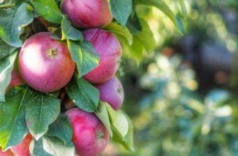 Подкормка яблонь весной - удобрения своими руками
