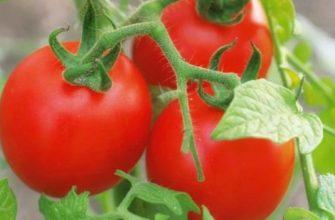 Выращивание помидоров в теплице особенности ухода