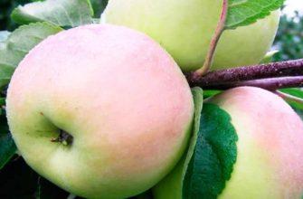Болезни яблони - признаки, профилактика и лечение