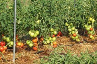 Выращивание помидоров в открытом грунте: посадка и уход