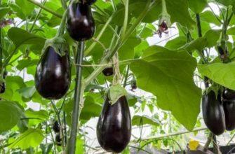 Выращивание баклажанов в открытом грунте: посев, посадка, уход