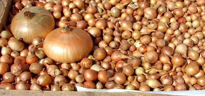 Лук-севок: посадка семян, выращивание и уход