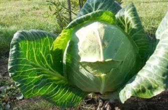 Подкормка капусты в открытом грунте: как и сколько удобрять