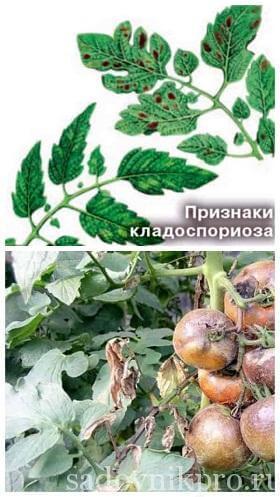 кладоспориоз или бурая пятнистость томатов