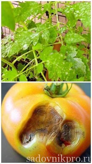 септориоз на помидорах