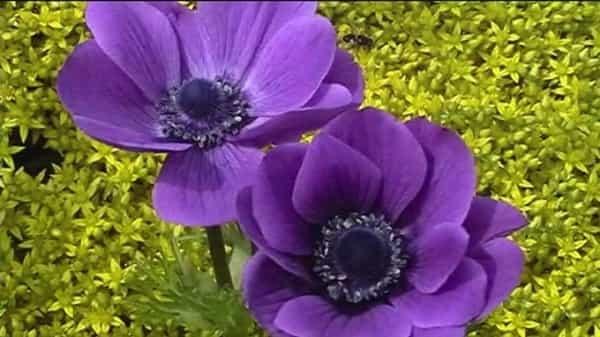 Анемона садовая фиолетовая