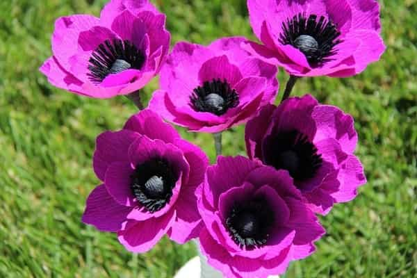 Анемона садовая лиловая