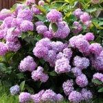 Гортензия садовая сорта и виды