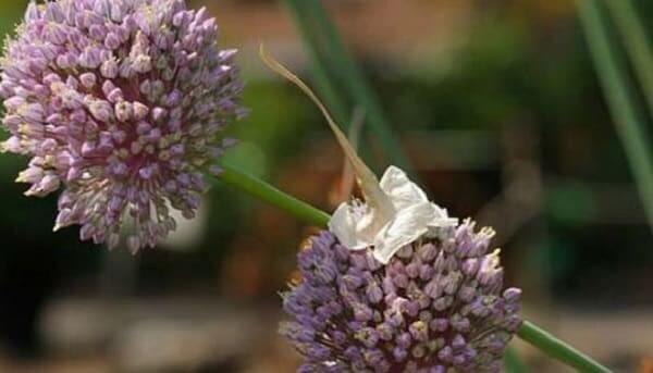 Цветы лук порей