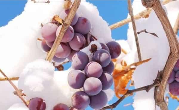 Как и чем укрыть виноград на зиму осенью