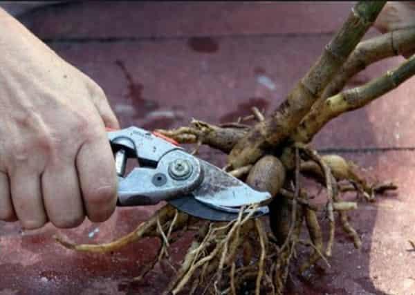 Как выкопать георгины осенью