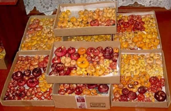 Как хранить луковицы гладиолусов дома