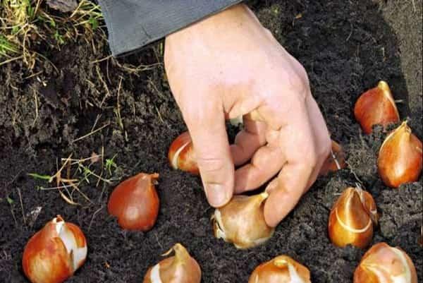 Когда сажать тюльпаны осенью какой месяц
