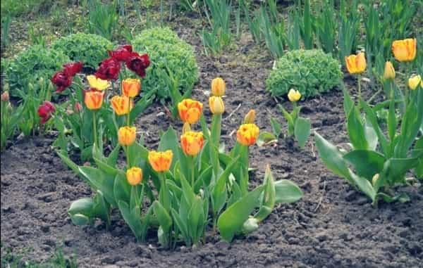 Когда сажать гиацинты и тюльпаны 94