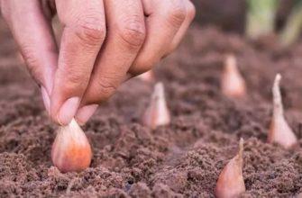 Когда сажать лук под зиму: сроки высадки в 2019 году