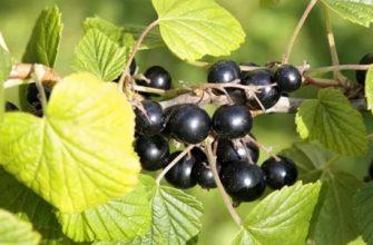 Черная смородина - посадка и уход, обрезка весной и осенью