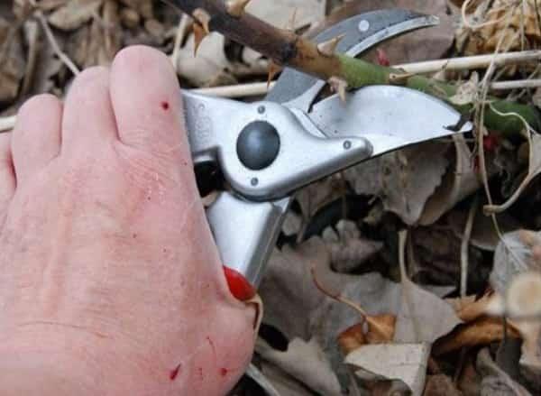 Как обрезать розы к зиме