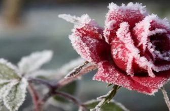 Розы: уход осенью и подготовка к зиме, обрезка и укрытие кустов