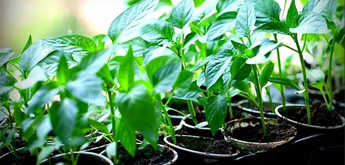 Когда сажать перец на рассаду в 2019 году: правила посадки семян и ухода за рассадой болгарского перца