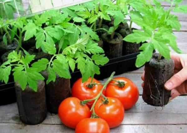 Правильный посев семя помидор на рассаду