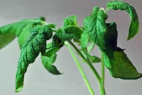 Причины скручивания листьев у томатов