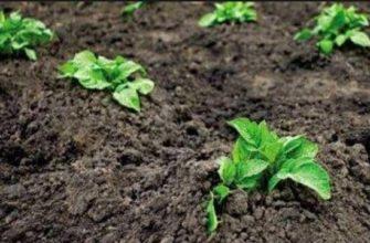 Посадка картофеля: способы и схемы