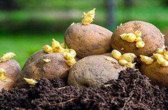 Посадка картофеля: способы и схемы, выращивание и уход