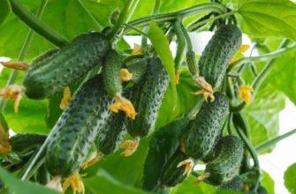 Вредители огурцов: способы борьбы с ними в открытом грунте и теплице