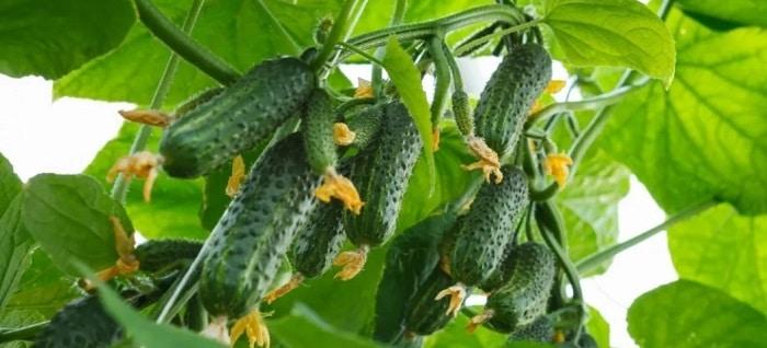 Вредители листьев огурцов тля обработка и борьба с ними