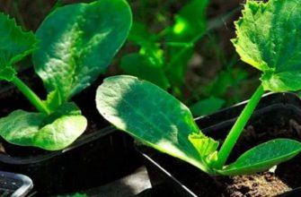 Посадка кабачков на рассаду 2021: когда сажать и как выращивать