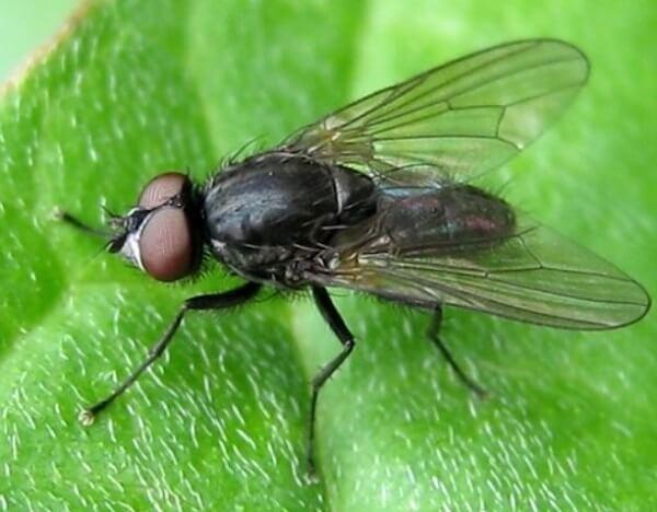Ростковая муха на огурцах