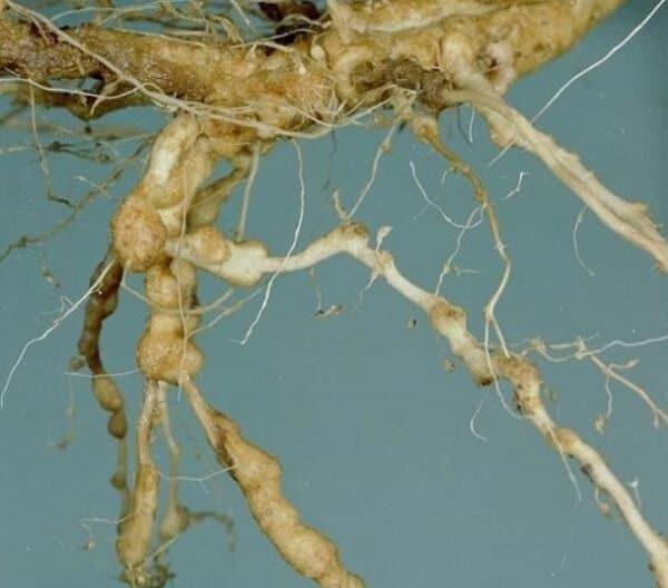 Галловая нематода на корнях огурцов