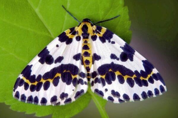 Бабочка пяденица крыжовниковая