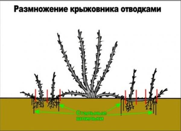 Размножение крыжовника отводками