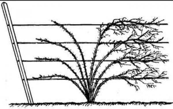 Выращивание крыжовника на шпалере
