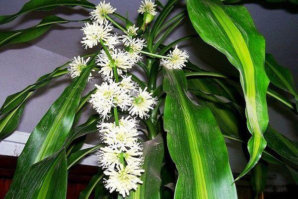 Как цветет драцена комнатная пальма