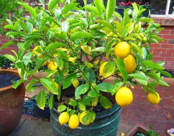 Лимон дома посадка
