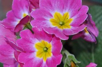 Фиалка: уход в домашних условиях, сорта и виды сенполии