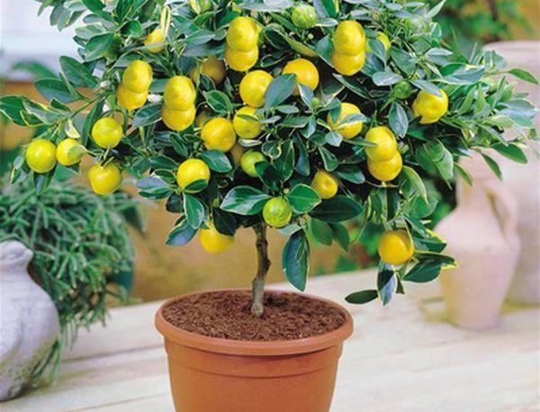 Обрезка лимона комнатного