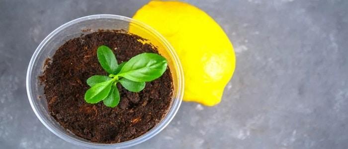 Как вырастить лимон из косточки в домашних условиях