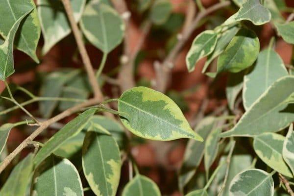 Фикус Бенджамина болезни листьев