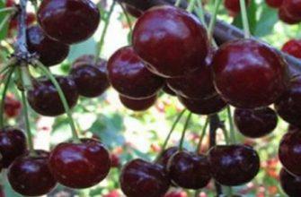 Вишня шоколадница: описание сорта и секреты посадки вишневого дерева