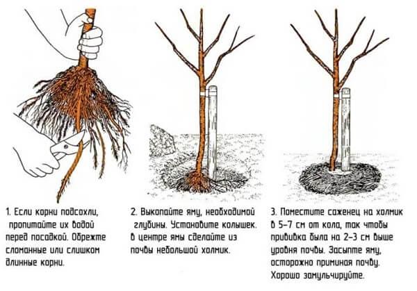 Посадка вишни в открытом грунте