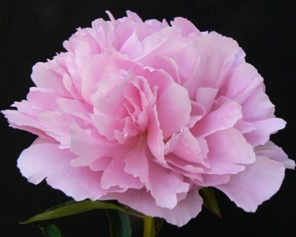 Густомахровые розовидные пионы