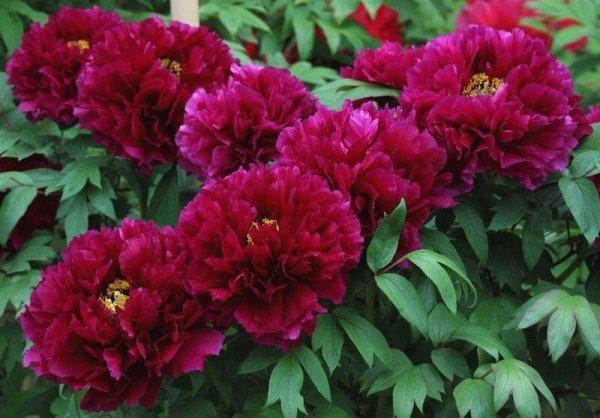 Почему пионы не цветут