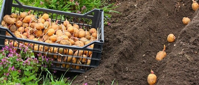 Что можно сажать после картофеля в открытом грунте на следующий год