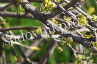 Прививка плодовых деревьев весной: сроки, видео, время прививки