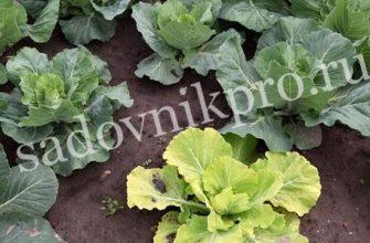 Мочевина удобрение: применение на огороде, состав, дозировка